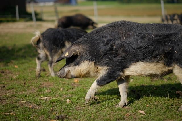 Cochons Laineux les porcs de notre elevage | les saveurs du coin